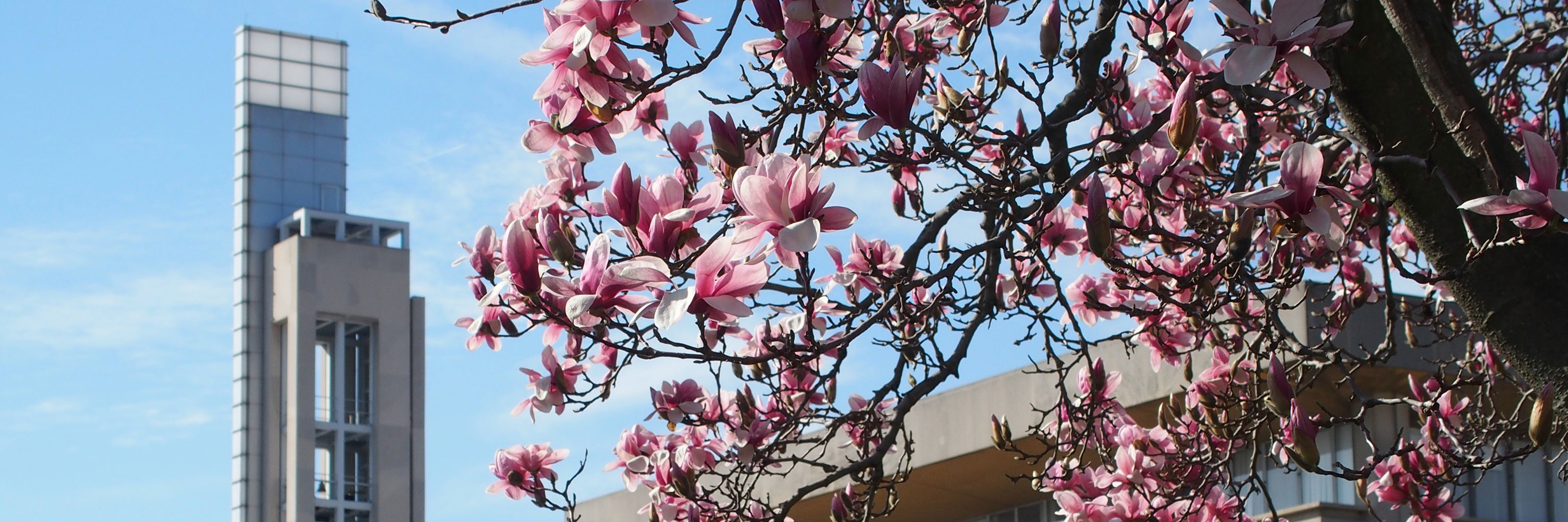 A tree flowering in spring in front of the bell tower